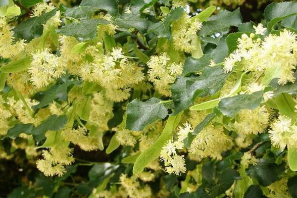 Цветки липы в лечении гиперлипидемии