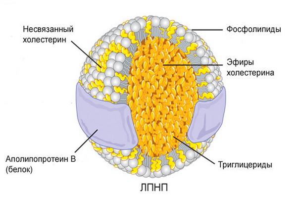 ЛПНП и ее строение