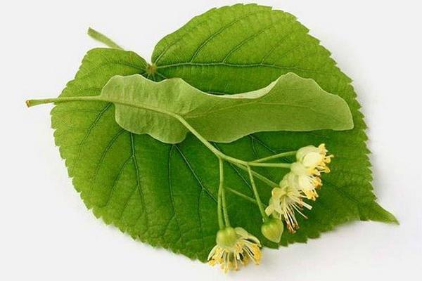 Цветки липы для снижения уровня холестерина