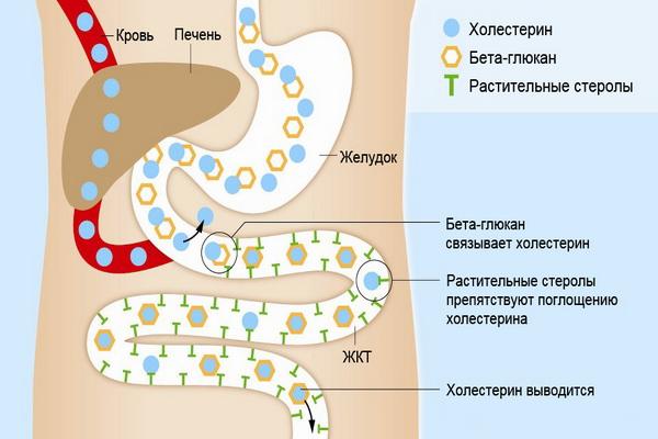 Роль печение в выработке холестерина