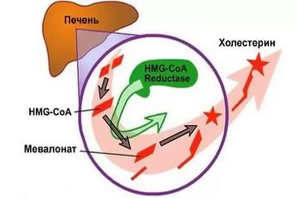 Функция печени при образовании холестерина