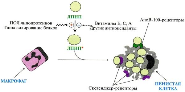 Отличительной гистологической особенностью атероматозной бляшки является пенистая клетка