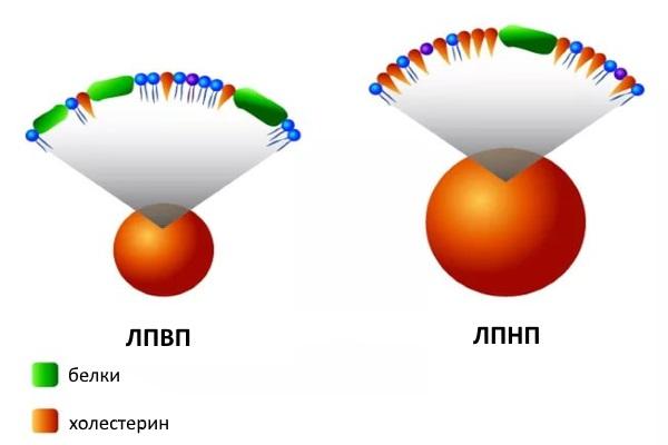 Неатерогенный и атерогенный холестерин