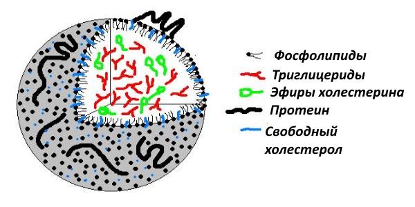 Липопротеины представляют собой комплексы из белков и липидов