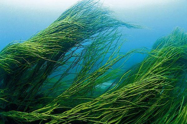 Водоросли в море