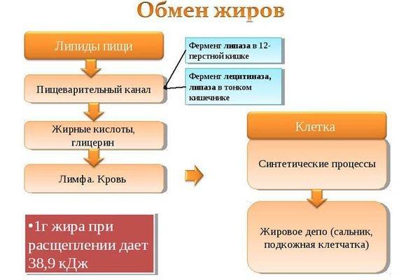 Схема обмена жиров