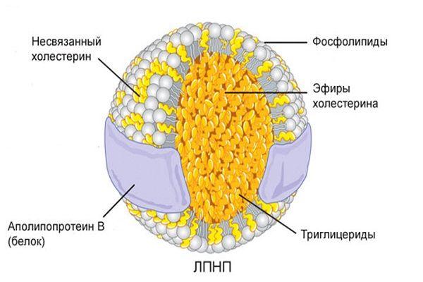 Норма полезного холестерина в организме