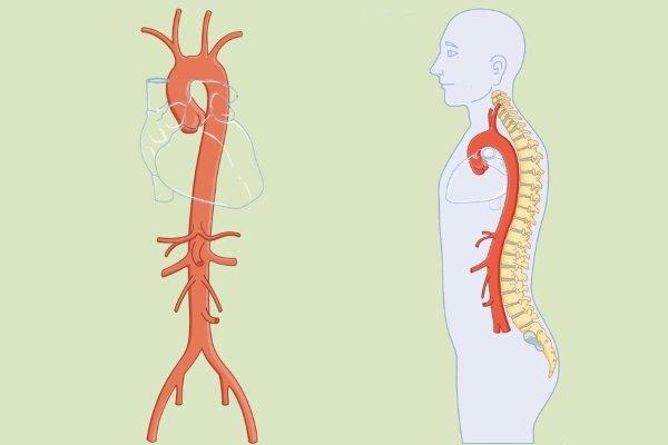 Строение аорты человека